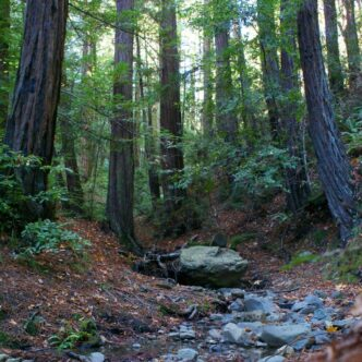 """REDWOOD TREES- """"CELEBRATING A CENTURY OF CONSERVATION"""""""